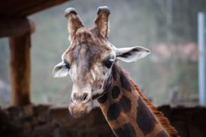 Reticulated giraffe (Giraffa camelopardalis reticulata), also kn